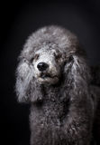 Grey Poodle. With black background Royalty Free Stock Image