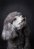 Grey Poodle. With black background Royalty Free Stock Photos
