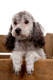 Grey poodle dog in wooden crate Stock Images