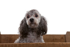 Grey poodle dog in wooden crate Royalty Free Stock Photos