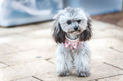 Grey poodle puppy wearing a cute pink necklace. SAI KUNG, HONG KONG - Grey poodle puppy wearing a cute pink necklace Stock Image