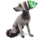 Grey poodle wearing a knitted hat. Grey poodle dog wearing a striped knitted hat Royalty Free Stock Image