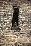 Grey postal dove sitting in the window of an old fortress. Stock Photo