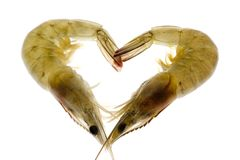 Grey prawns in love Royalty Free Stock Images