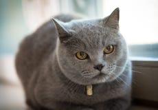 Grey pretty cat Royalty Free Stock Photo