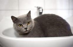 Grey pretty cat Royalty Free Stock Photos