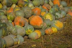 Grey pumpkins named Confection Stock Images