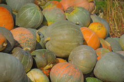 Grey pumpkins named Confection Stock Photography