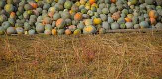Grey pumpkins named Confection Royalty Free Stock Photo