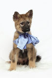 Grey puppy with blue bow Royalty Free Stock Photography