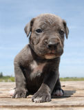 Grey Puppy cane corso Stock Photo