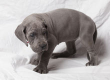 Grey puppy Royalty Free Stock Photo