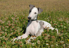 Grey Puppy whippet Stock Images