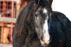 Grey purebred horse portrait shot. stock image