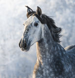 Grey purebred Spanish horse. Portrait in motion Royalty Free Stock Photos