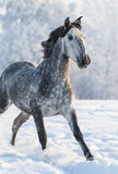 Grey purebred Spanish horse run gallop in winter. Dapple-grey Spanish horse run gallop in winter Royalty Free Stock Images