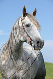 Grey quarter horse in front of blue sky Royalty Free Stock Photo