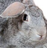 Grey rabbit. Isolated on white Royalty Free Stock Image