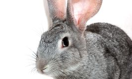 Grey rabbit Stock Photos