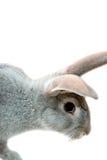 Grey rabbit. Isolated on white Stock Photo