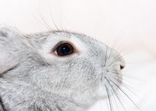 Grey rabbit. Isolated on white Royalty Free Stock Photos