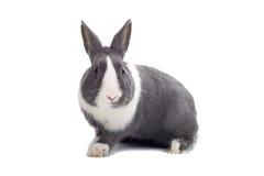 Grey rabbit. Isolated on white background Royalty Free Stock Images