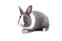 Grey rabbit Royalty Free Stock Image
