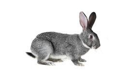 Grey rabbit. Image of cute grey rabbit isolated over white background