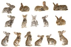Grey  rabbit Stock Photos