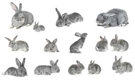 Grey  rabbit Royalty Free Stock Images