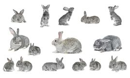 Grey  rabbit Stock Images