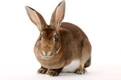Grey Rabbit Royalty Free Stock Photography