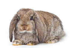 Grey rabbit Stock Photo