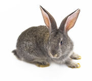 Grey rabbit Stock Photography