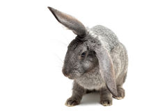 Grey rabbit. Portrait of rabbit isolated on white (shallow DOF Royalty Free Stock Photos