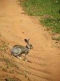 Grey rabbit Royalty Free Stock Photo