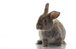Grey Rabbit Royalty Free Stock Photo