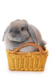 Grey rabbit in a basket isolated on white Stock Image