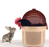 Grey  rabbit and  black cock Stock Image