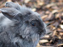 Grey Rabbit Royalty Free Stock Photos