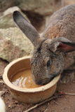 Grey Rabbit Drinking Water Stock Images