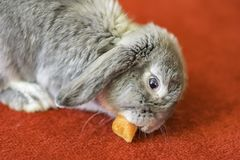 Rabbit on red carpet, funny animals, pets in uk home. Grey rabbit eating carrot on red carpet.Cute and fluffy animal at home.Pets uk.Adorable and lovely bunny stock photography