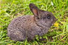 Grey rabbit eating flower Stock Images