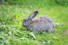 Grey rabbit eating grass. Animal, pet Stock Photo