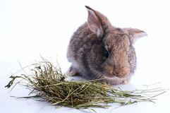 Grey rabbit is eating hay Royalty Free Stock Photo