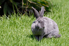 The grey rabbit on the grass. Breed reks Royalty Free Stock Image