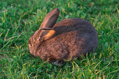 Grey rabbit in grass Royalty Free Stock Photo