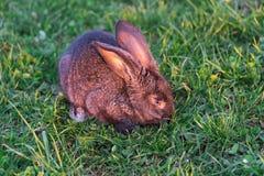 Grey rabbit in  grass Stock Image