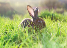 Grey rabbit in grass Stock Image