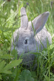 Grey rabbit. On the grass in nature Stock Photos